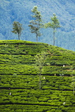 Tea Pluckers Working at a Tea Plantation in the The Central Highlands