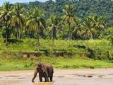 Elephant at Pinnawala Elephant Orphanage  Sri Lanka  Asia