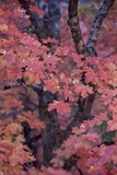 Red Leaves on a Big Tooth Maple (Acer Grandidentatum) in the Fall