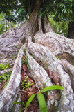 Twisted Roots of an Old Tree  Kandy Royal Botanical Gardens  Peradeniya  Kandy  Sri Lanka  Asia