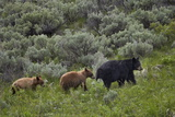 Black Bear (Ursus Americanus) Sow and Two Cinnamon Yearling Cubs