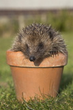 Hedgehog (Erinaceus Europaeus)  in Plant Pot  Captive  United Kingdom  Europe