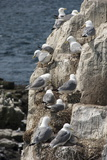 Kittiwakes Nesting on Cliff Ledges