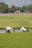 Planting Rice  Vientiane  Laos