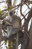 Vervet Monkey (Cercopithecus Aethiops)  Chobe National Park  Botswana  Africa