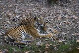 Indian Tigress  (Bengal Tiger) (Panthera Tigris Tigris) with Her Cub  Bandhavgarh National Park