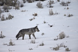Gray Wolf (Canis Lupus) 755M of the Lamar Canyon Pack Running Through the Snow in the Winter