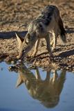 Black-Backed Jackal (Silver-Backed Jackal) (Canis Mesomelas) Drinking