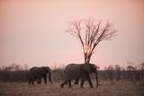 African Elephants (Loxodonta Africana)  Savuti  Chobe National Park  Botswana  Africa