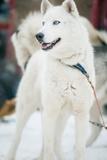 Huskies at an International Dog Sled Race