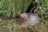 Eurasian Beaver (Castor Fiber)  Captive in Breeding Programme  United Kingdom  Europe