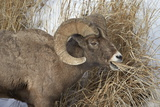 Bighorn Sheep (Ovis Canadensis) Ram Eating in the Winter