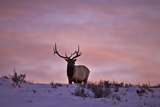 Bull Elk (Cervus Canadensis) at Sunset in the Winter