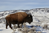 Bison (Bison Bison) Bull in the Winter