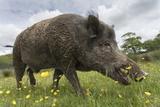 Wild Boar (Sus Scrofa), Captive, United Kingdom, Europe Papier Photo par Ann And Steve Toon