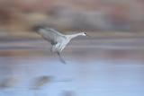 Sandhill Crane (Grus Canadensis) Landing