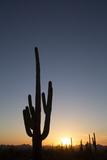 Saguaro Cactus (Camegiea Gigantea) Silhouetted at Sunset