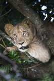 Lion (Panthera Leo) in Tree  Phinda Private Game Reserve  South Africa  Africa