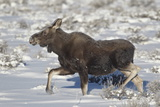 Moose (Alces Alces) Calf on a Winter Morning