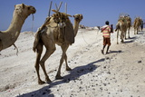 Salt Caravan in Djibouti  Going from Assal Lake to Ethiopian Mountains  Djibouti  Africa