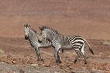 Hartmann's Mountain Zebra  (Equus Zebra Hartmannae)  Kunene Region  Namibia  Africa
