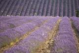 Lavender Fields  Sault En Provence  Vaucluse  Provence  France  Europe