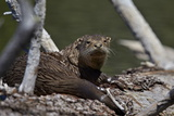 River Otter (Lutra Canadensis)