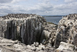 Guillemots  Kittiwakes and Shags on the Cliffs of Staple Island  Farne Islands