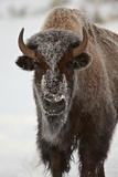 Bison (Bison Bison) Cow in the Winter Papier Photo par James Hager