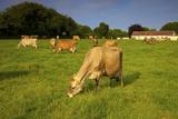 Jersey Cattle  Jersey  Channel Islands  Europe