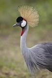 Grey Crowned Crane (Southern Crowned Crane) (Balearica Regulorum)