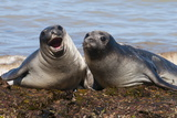 Elephant Seals on Punta Ninfas  Chubut  Argentina  South America