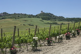 Vineyard with Roses  Traditionally Planted to Give Early Warning of Vine Disease  Val D'Orcia