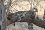 Leopard (Panthera Pardus)  Okavango Delta  Botswana  Africa