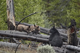 Black Bear (Ursus Americanus) Sow and Two Yearling Cubs