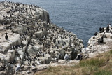 Guillemots  Kittiwakes  Shags and a Puffin on the Cliffs of Inner Farne