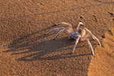Dancing White Lady Spider (Leucorchestris Arenicola)  Namib Desert  Namibia  Africa