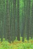 Pine Forest  Landes  Aquitaine  France