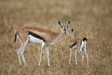 Thomson's Gazelle (Gazella Thomsonii) Mother and Young