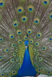 Peacock Displaying Tail Feathers  United Kingdom  Europe