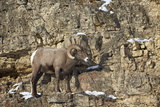 Bighorn Sheep (Ovis Canadensis) in the Winter