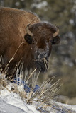 Bison (Bison Bison) Cow Eating in the Winter