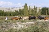 Azeri Farmer Driving Cattle  Goechay  Azerbaijan  Central Asia  Asia