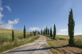Tree Lined Driveway  Val D'Orcia  Tuscany  Italy  Europe