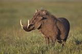 Male Warthog (Phacochoerus Aethiopicus)  Ngorongoro Crater  Tanzania  East Africa  Africa
