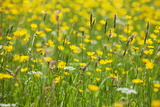 Grasses and Flowers in a Buttercup Meadow at Muker