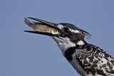 Pied Kingfisher (Ceryle Rudis) with a Fish  Kruger National Park  South Africa  Africa