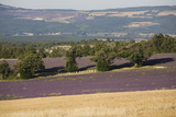 Lavender Fields  Provence  France  Europe