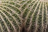 Cactus  Echinocactus Grusonii Hildmann  Jardin Botanico (Botanical Gardens)