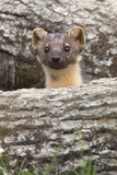 Pine Marten (Martes Martes)  Captive  United Kingdom  Europe